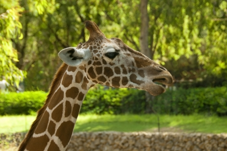 Close up shot of head of young giraffe photo