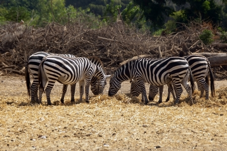 group of zebras grazing in a safari photo