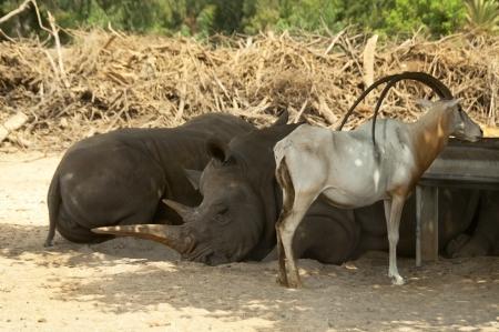 grazer: pair of dormant rhinos and antelope longhorned Stock Photo