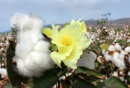 field of flowering and ripe for harvesting cotton Stock Photo - 16007412