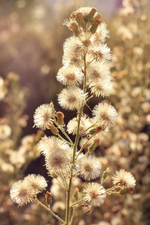deflorate wild flower   dandelions   as floral background in golden ocher tone