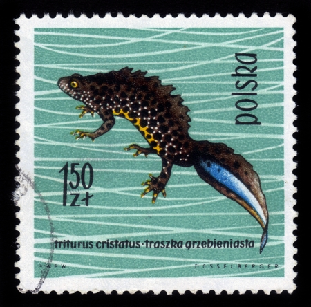 POLAND - CIRCA 1963  A stamp printed in Poland shows crested newt, series devoted to reptiles and amphibians, circa 1963 Stock Photo - 16978200