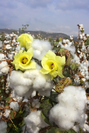flowering and ripe for harvesting cotton Stock Photo - 16978129