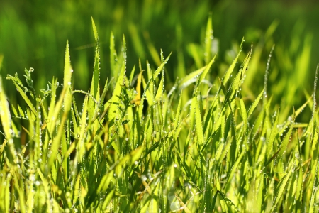 brightly lit fresh green grass in drops of dew as a natural background Stock Photo - 17422924