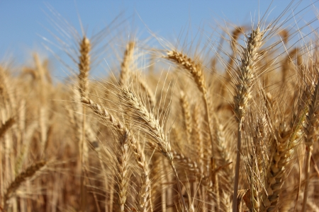 golden ears of wheat as agricultural background photo