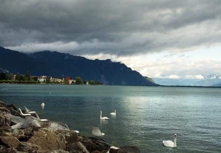 white swans on Lake Geneva before the storm, Switzerland Stock Photo - 17757971