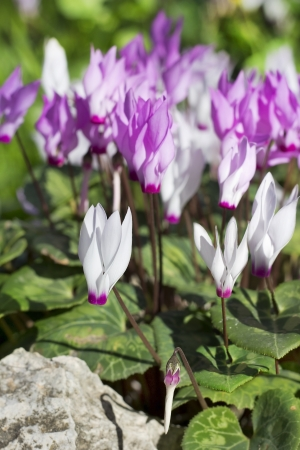 first spring cyclamen, gentle purple flowers in a wild forest Stock Photo - 17881828