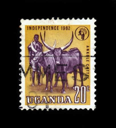 Uganda - CIRCA 1962  stamp printed by Uganda, shows african shepherd and two longhorn buffalo, circa 1962