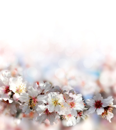 bee collecting nectar from the flowers of the peach tree on a blurred background Stock Photo - 18149199