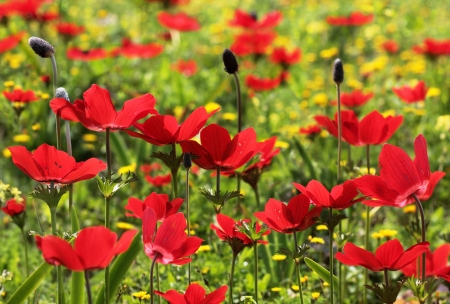 field of red poppies as a floral background