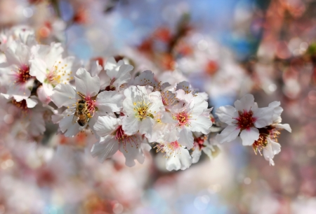 bee collecting nectar from the flowers of the peach tree on a blurred background as floral wallpapers Stock Photo - 18149200