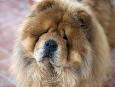Portrait of Chow Chow , dog attentively looks at the camera Stock Photo - 18234578