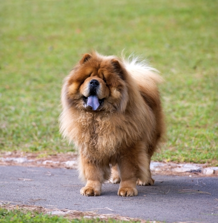 Portrait of Chow Chow , dog attentively looks at the camera