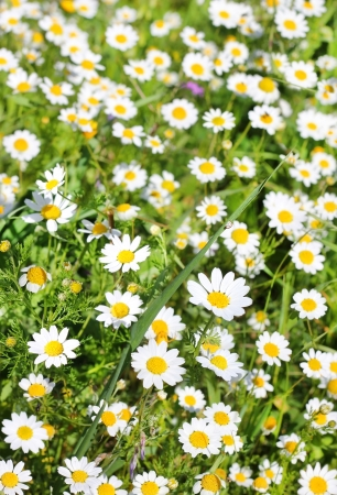 field of chamomiles , first spring bloom as floral background Stock Photo - 18302903
