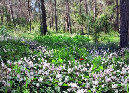 glade of wild cyclamen among spring forest Stock Photo - 18302914
