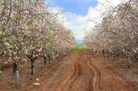Alley of blooming peach trees against the blue sky Stock Photo - 18411026