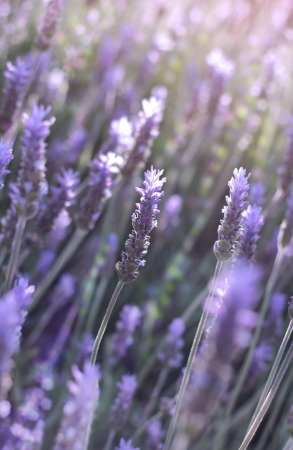 branches of flowering lavender as floral background Stock Photo - 18410978