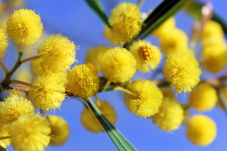 mimose: fiori gialli di mimosa su uno sfondo di cielo blu
