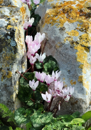 wild cyclamen bloom in a crevice between rocks covered with moss Stock Photo - 18650047