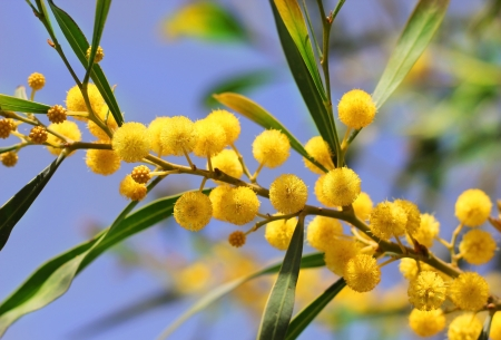 yellow flowers of mimosa on a background of blue sky Stock Photo