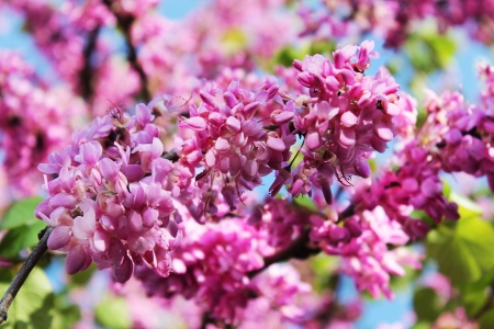 red flowers of judas tree on a background of blue sky Stock Photo - 18876444