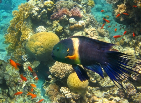 cheilinus: underwater image of tropical fish , male of broom-tail wrasse , cheilinus lunulatus,  Eilat, Israel Stock Photo