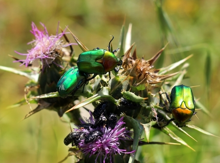 green and black beetles on a flower,  close-up Stock Photo - 19403601