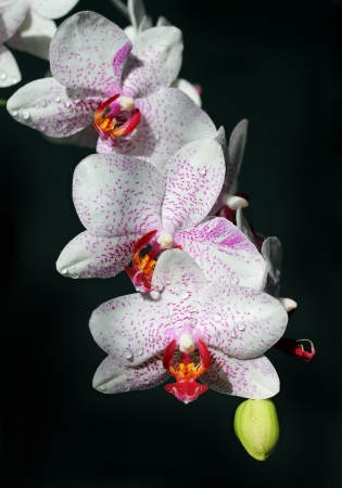 white orchids with burgundy spots and drops of water on black background photo