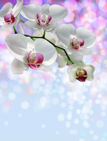 branch of blossoming white orchid on a blurred background as the theme for Valentine s Day
