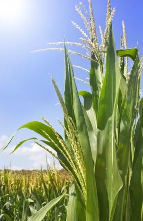 green shoots of corn close up Stock fotó