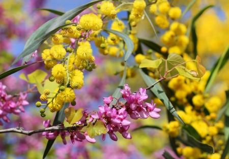 mimose: lilla fiori e mimosa come sfondo di primavera per San Valentino s Archivio Fotografico