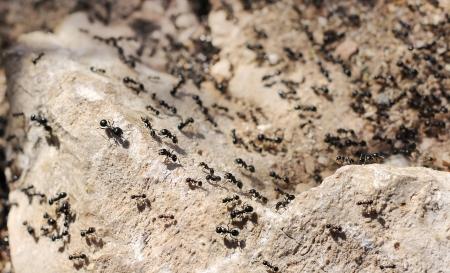 thousands of black ants on stony ground