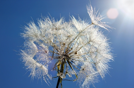 Dandelion with drops of dew on a bright blue sky