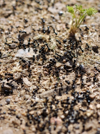 dozens: dozens of black ants and green sprout, spring nature awakens