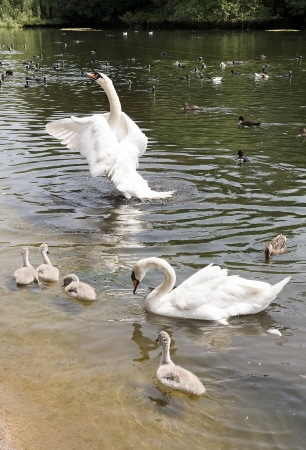 family of white swans with fledglings swimming in a pond photo