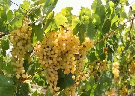 vinery: bunch of ripe muscat grapes illuminated by sun Stock Photo