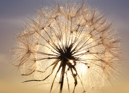 Dandelion on a bright golden background, sunset photo