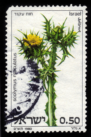 maculatus: ISRAEL - CIRCA 1980  a stamp printed in Israel shows an Scolymus Maculatus, spotted golden thistle, circa 1980  Stock Photo