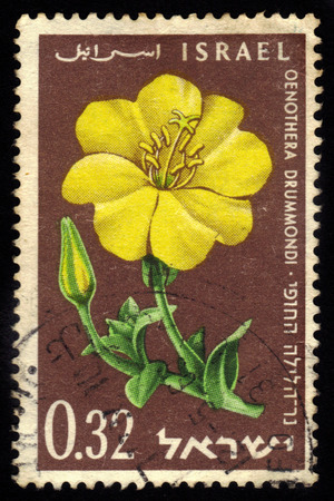 sundrops: ISRAEL - CIRCA 1960  A stamp printed in Israel shows Oenothera Drummondi, series flowers of Israel, circa 1960