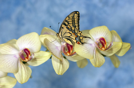 swallowtail butterfly  papilio machaon  on a flower orchid on a bright blue background