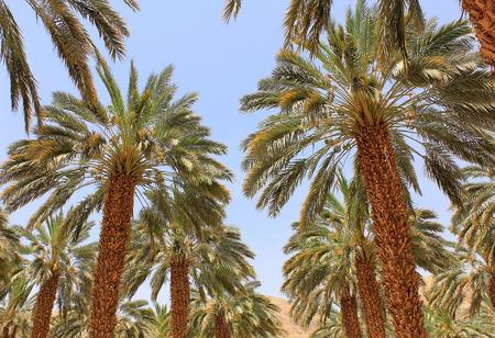 grove of date palms near Dead Sea, Israel photo