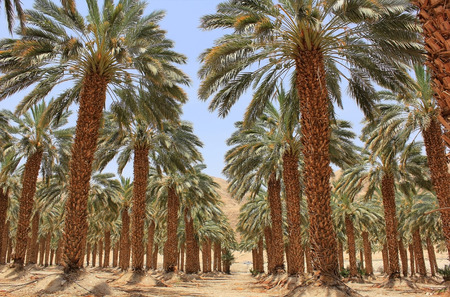 plantation of palm trees at Kibbutz Ein Gedi, Dead Sea area, Israel photo