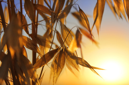 agricultural background, spikelets of oats at sunset photo