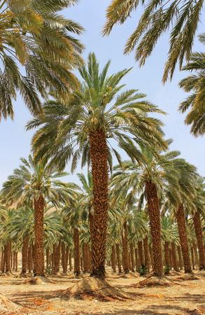 ein: plantation of palm trees at Kibbutz Ein Gedi, Dead Sea area, Israel