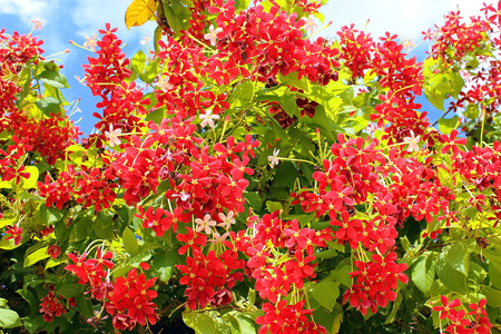 red flowers of mediterranean acacia against the blue sky