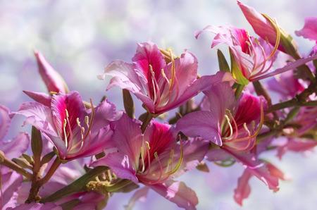 orchid tree: rama de la floraci�n hong kong �rbol orqu�dea sobre fondo borroso