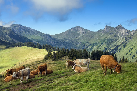 typical rural landscape in the Swiss Alps with grazing cows photo