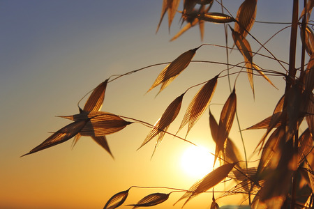 spikelets: agricultural background, spikelets of oats at sunset