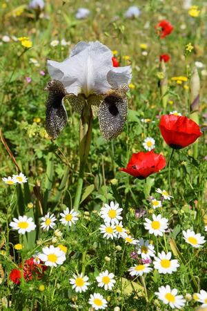 nazareth: red wild poppies and nazareth iris, ( Iris bismarckiana ), unique flower that grows only in a neighborhood Nazareth, Lower Galilee, Israel Stock Photo