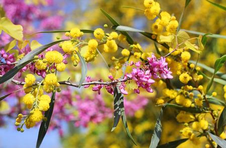 mimose: fiori di lillà e mimosa come sfondo primavera per San Valentino